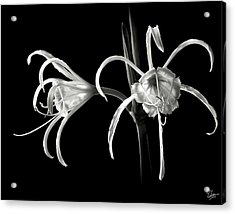 Peruvian Daffodil In Black And White Acrylic Print