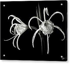 Peruvian Daffodil In Black And White Acrylic Print
