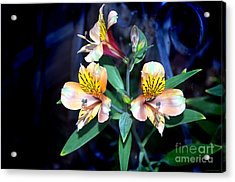 Peruvian Lily In My Garden Acrylic Print