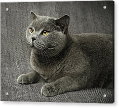 Pet Portrait Of British Shorthair Cat Acrylic Print by Nancy Branston