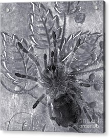 Pet Rose Hair Tarantula On Antique Silverplate Acrylic Print by Janeen Wassink Searles