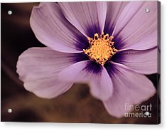 Petaline - P04d Acrylic Print by Variance Collections