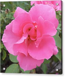 Acrylic Print featuring the photograph Petals Of Pink by Lynnette Johns