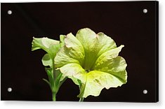 Petunia Light Acrylic Print