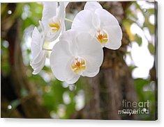 Phalaenopsis Aphrodite Moon Orchid Acrylic Print