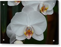 Phalaenopsis Orchid Acrylic Print by Michael Carrothers