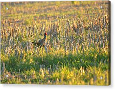 Acrylic Print featuring the photograph Pheasant Into The Light by Shirley Heier