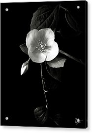 Philadelphus In Black And White Acrylic Print by Endre Balogh