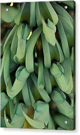 Philippine Jade Vine Acrylic Print by Paul Plaine