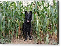 Phoenix In The Cornfield Acrylic Print