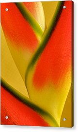 Photograph Of A Lobster Claws Heliconia Acrylic Print by Perla Copernik