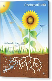 Photosynthesis, Illustration Acrylic Print by David Nicholls