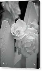 Picket Rose Acrylic Print by Peter Tellone