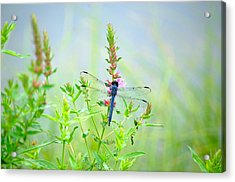 Acrylic Print featuring the photograph Picture Perfect Skimmer Dragonfly by Mary McAvoy