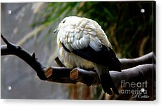 Acrylic Print featuring the photograph Pied Imperial Pigeon by Davandra Cribbie