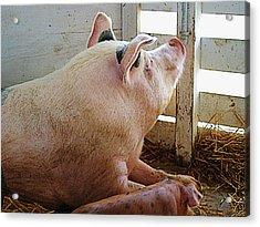 Pig Enjoying The Sun Acrylic Print by Susan Savad