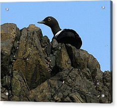 Pigeon Guillemot At Silver Point Oregon Acrylic Print