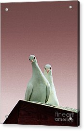 Pigeons In The Pink Acrylic Print by Linsey Williams