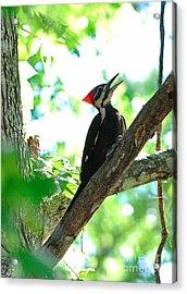 Pilated Woodpecker With Firey Knot Acrylic Print by Wayne Nielsen