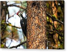 Pileated Woodpecker - Dryocopus Pileatus Acrylic Print by Merle Ann Loman