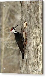 Pileated Woodpecker Excavating A Cedar Tree Acrylic Print by Inspired Nature Photography Fine Art Photography