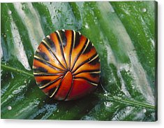 Pill Millipede Glomeris Sp Rolled Acrylic Print by Cyril Ruoso