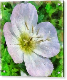 Acrylic Print featuring the painting Pimrose Beauty by Elizabeth Coats