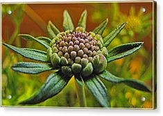 Acrylic Print featuring the photograph Pinchshin Bud by Debbie Portwood