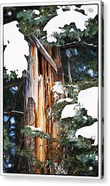 Pine Bark Acrylic Print by Lisa  Spencer