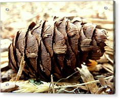 Pine Cone Acrylic Print by Cindy Wright