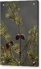 Pine Cones At The Top Of A Small Pine Acrylic Print by Raymond Gehman