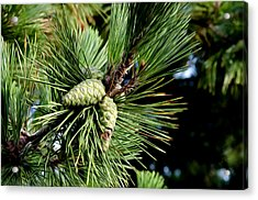 Pine Cones In A Pine Tree Acrylic Print by Bill Cannon