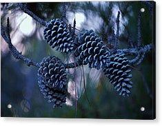 Pine Cones Acrylic Print by William Bartholomew