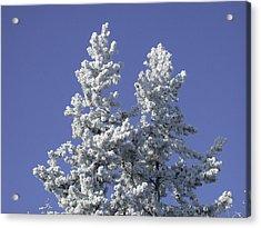 Pine Hoar Frost Acrylic Print