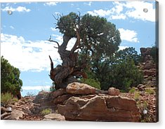 Pine Tree By The Canyon Acrylic Print by Dany Lison