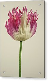 Pink & White Afghan Lacinia Acrylic Print by Farmer Images