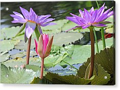 Pink And Purple Waterlilies Acrylic Print by Becky Lodes