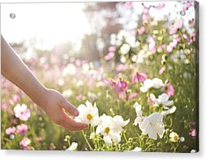 Pink And White Cosmos Flower Acrylic Print by Ajari