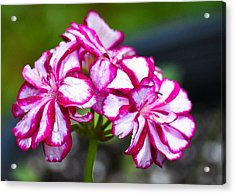 Acrylic Print featuring the photograph Pink And White Geraniums by Ronda Broatch