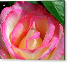 Pink And White Rose Acrylic Print