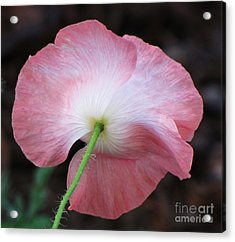 Acrylic Print featuring the photograph Pink And White Shirley Poppy by Michele Penner