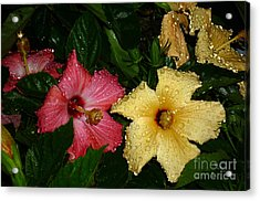 Acrylic Print featuring the photograph Pink And Yellow Hibiscus After The Rain by Renee Trenholm