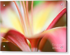 Pink And Yellow Lily 2 Acrylic Print by Melissa Haley