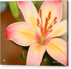 Pink And Yellow Lily 3 Acrylic Print by Melissa Haley