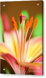 Pink And Yellow Lily 4 Acrylic Print by Melissa Haley