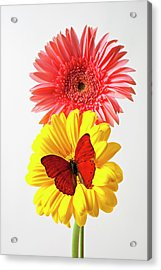 Pink And Yellow Mums Acrylic Print by Garry Gay