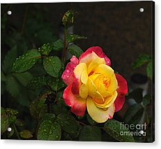 Pink And Yellow Rose 5 Acrylic Print