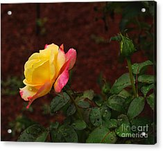 Pink And Yellow Rose 6 Acrylic Print