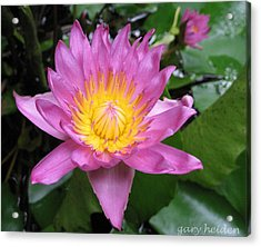 Pink And Yellow Waterlily Acrylic Print by Gary Heiden