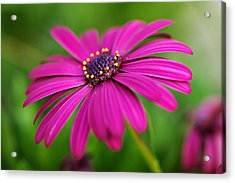Pink Beauty Acrylic Print